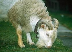 Гибрид козы и барана