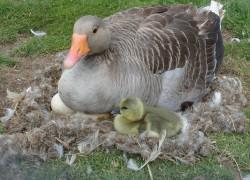 Советы по инкубации гусиных яиц