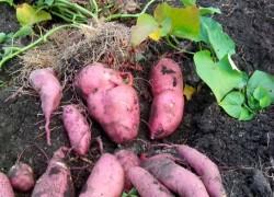 Урожайный батат