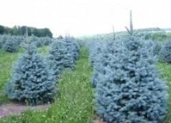 Как вырастить голубую ель из семян