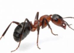 """Домашние \""""фараоновы\"""" муравьи"""