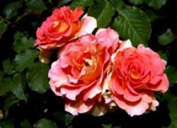 Посадка роз по всем правилам