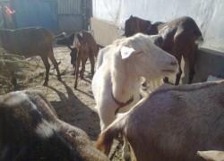 Разведение породистых коз – дело прибыльное