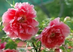 Пионы – самые лучшие цветы