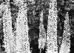 Эремурус -  растение с паукообразными корнями