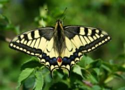 Как мы с внучкой вырастили бабочек махаона в банке