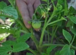 Чего не хватает вашим помидорам. Таблица