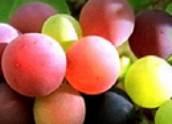 Как вывести свой новый сорт винограда