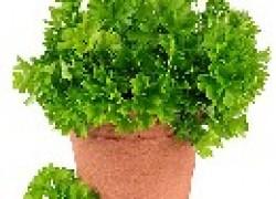 Выращиваем «весенний» урожай петрушки