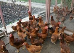 К нам в курятник пришла беда – кто-то съел всех курочек