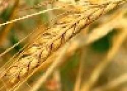 Почему зерно дешевле навоза