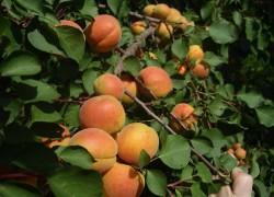 Как сохранить абрикос зимой