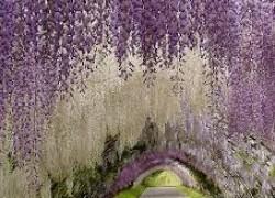Чудо цветения глицинии, или Что расцвело во дворе?