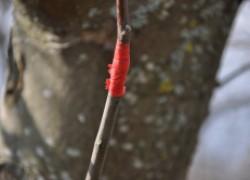 Прививка на яблоню методом улучшенной копулировки (пошаговые фото)