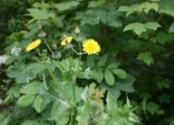 Гербициды от пырея и осота