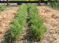 Как получить большой урожай на соломенной грядке