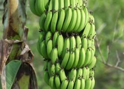А почему у нас не растет банан