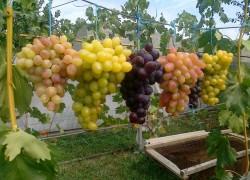 Мой грустный опыт по зарабатыванию на винограде
