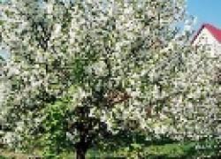 Залог долголетия сада