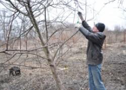 Видео-урок: Обрезка колонновидных деревьев
