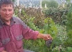 Как нельзя резать виноград