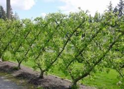 Шпалерная изгородь из плодовых деревьев