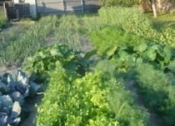 Два урожая с одной грядки