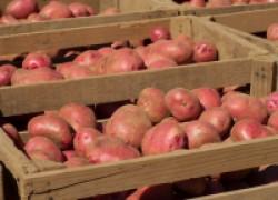 Скоро начнем озеленять картофель. А зачем это нужно?