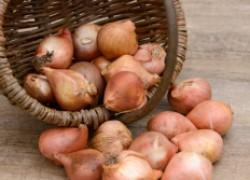 Когда и как выкапывать луковицы тюльпанов