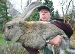 Самые крупные породы кроликов