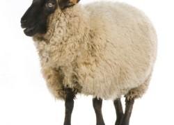 Почему ослепла овечка
