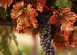 Подарили виноград