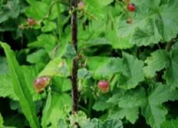 Виноградный клещ: в чем его вред и как с ним бороться. ВИДЕО