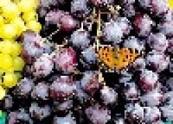 Самая рыночная десятка винограда