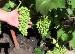 Лучшие препараты для лечения винограда