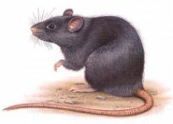 Почему чешется крыса