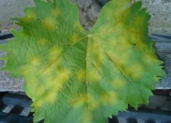 Болезни на листьях винограда