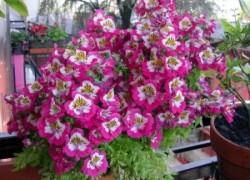 Схизантус – орхидея бедняков