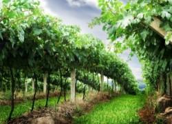 Виноградник в июне