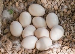 Можно ли есть утиные яйца