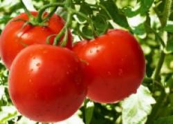 Пять самых опасных вредителей и болезней помидоров (таблица)