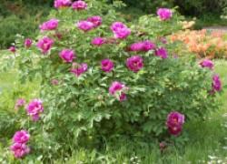 Секреты цветения императорского цветка – древовидного пиона