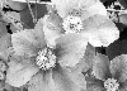 Клематис цветет 115 дней в году