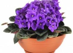 7 причин: почему не цветут комнатные фиалки