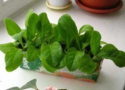 Выращивание табака рассадой