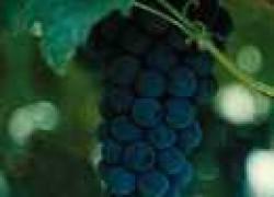Для любителей северного виноградарства