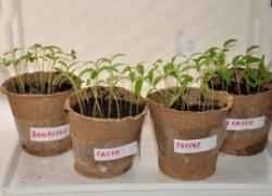 Пикировка томатов: 8 обязательных правил