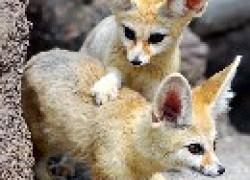 Фенек - пустынная лисичка
