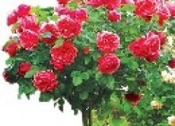 Розовые особенности