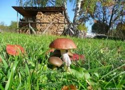Грибы на участке или сам себе грибовод